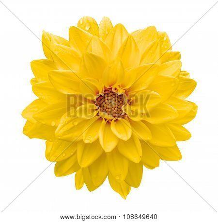 Yellow Flower Dahlia Macro Isolated On White