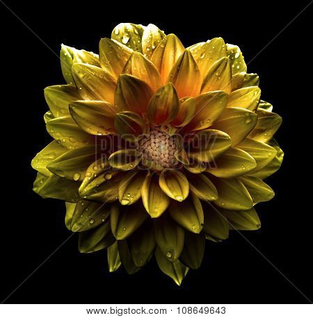 Surreal Dark Chrome Gold Flower Dahlia Macro Isolated On Black