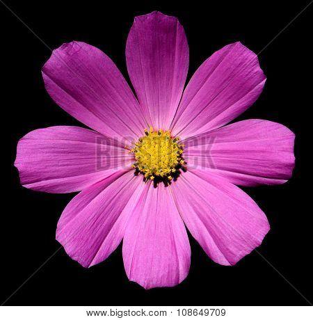 Rose Violet Flower Primula Isolated On Black