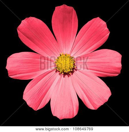 Pink Flower Primula Isolated On Black