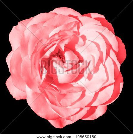 Acid Pink Rose Flower Macro Isolated On Black