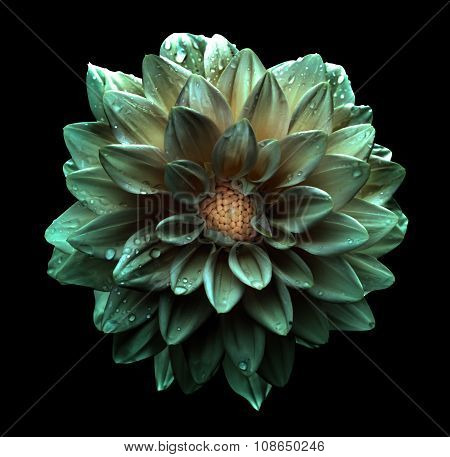 Surreal Dark Chrome Greenish Flower Dahlia Macro Isolated On Black