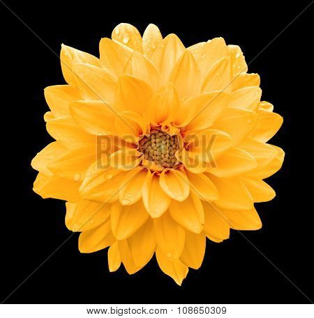 Orange Flower Dahlia Macro Isolated On Black