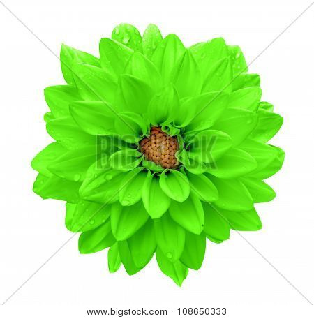 Acid Green Flower Dahlia Macro Isolated On White