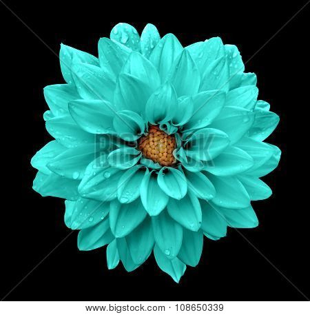 Turquoise Flower Dahlia Macro Isolated On Black