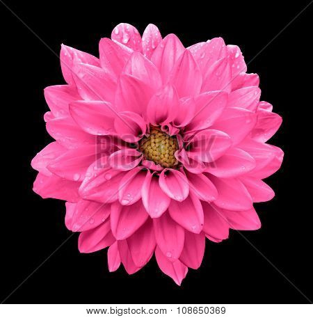Acid Pink Flower Dahlia Macro Isolated On Black