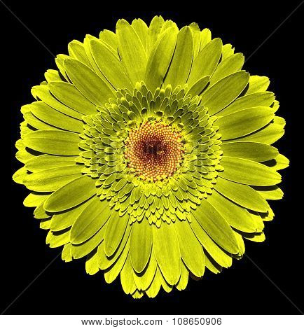 Surreal Dark Chrome Golden Gerbera Flower Macro Isolated On Black