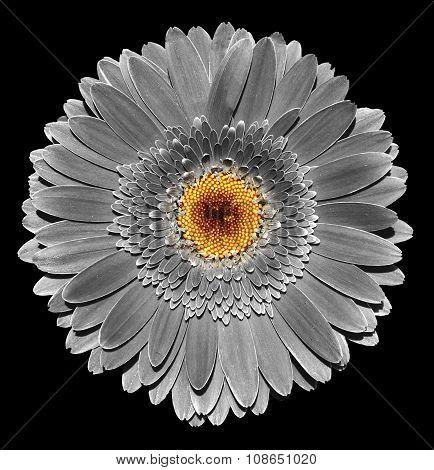 Surreal Dark Chrome Grey Gerbera Flower Macro Isolated On Black