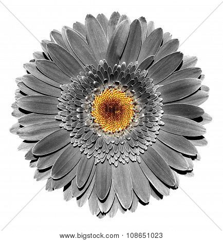 Surreal Dark Chrome Grey Gerbera Flower Macro Isolated On White
