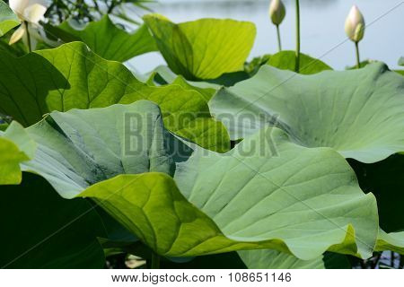 Lotus leaves and bud on background of a lake