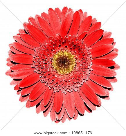 Surreal Dark Chrome Red Gerbera Flower Macro Isolated On White
