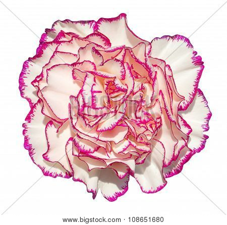 Clove Flower With Cream Petals And Pink Edging Macro Photography Isolated On White