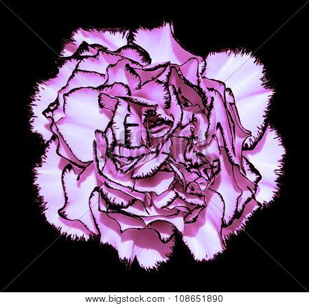 Clove Flower With Violet Petals And Black Edging Macro Photography Isolated On Black Painting Styliz