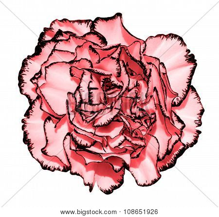 Clove Flower With Tender Pink Petals And Black Edging Macro Photography Isolated On White Painting S
