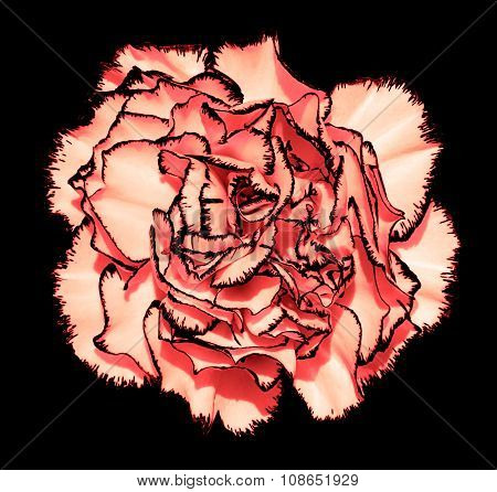 Clove Flower With Red Petals And Black Edging Macro Photography Isolated On Black Painting Stylized