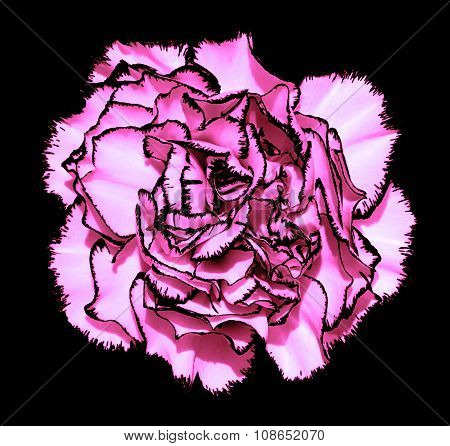 Clove Flower With Pink Petals And Black Edging Macro Photography Isolated On Black Painting Stylized