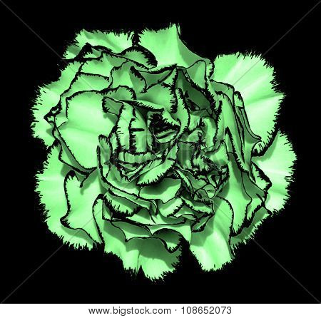 Clove Flower With Green Petals And Black Edging Macro Photography Isolated On Black Painting Stylize