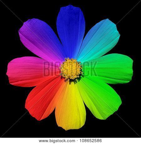 Rainbow Primula Flower Macro Isolated On Black