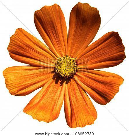 Orange Flower Primula Isolated On White