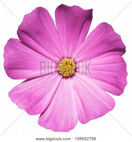 Violet Flower Primula Isolated On White