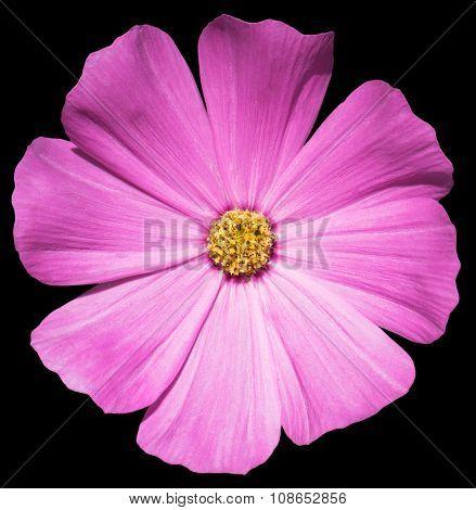 Violet Flower Primula Isolated On Black