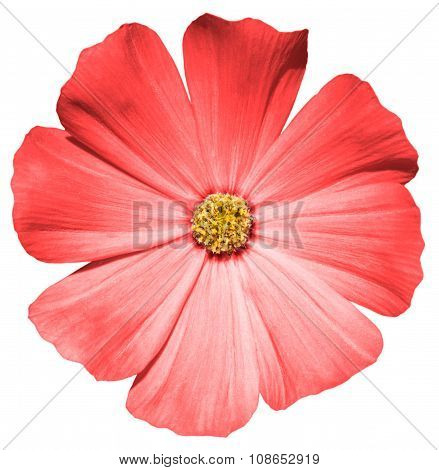 Red Flower Primula Isolated On White
