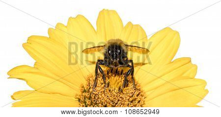 Bee Collects Pollen From Yellow Flowers Perennial Aster Isolated On White