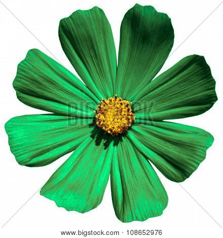 Green  Flower Primula Isolated On White