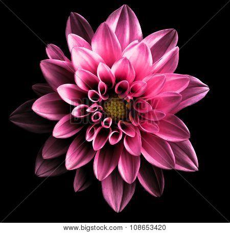 Surreal Dark Chrome Pink Flower Dahlia Macro Isolated On Black