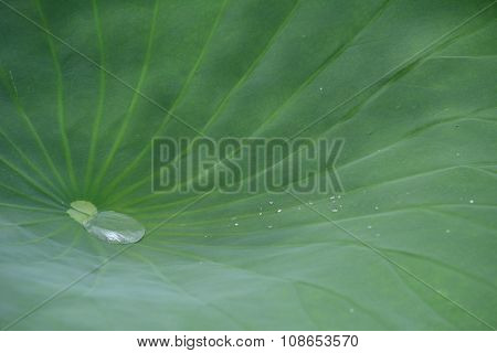 Lotus leaf with pool of water from early morning rain