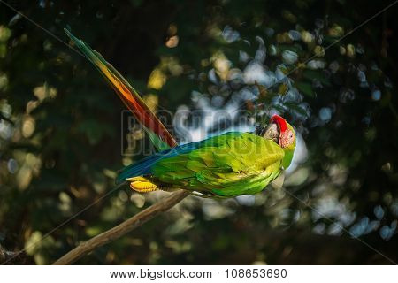 green-winged macaw sitting on branch