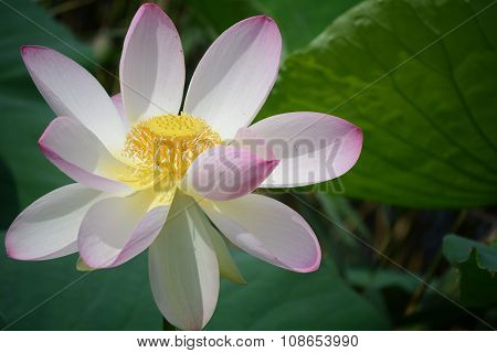 Newly opened lotus flower