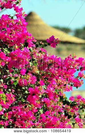 bougainvillea marsa alam
