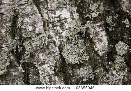 Texture Pine Tree Bark Macro Background