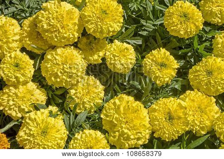 Yellow Chrysanthemums In Full Bloom