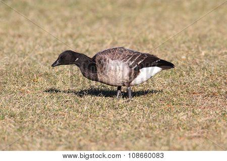 Brant (branta Bernicla) On A Grassy Field