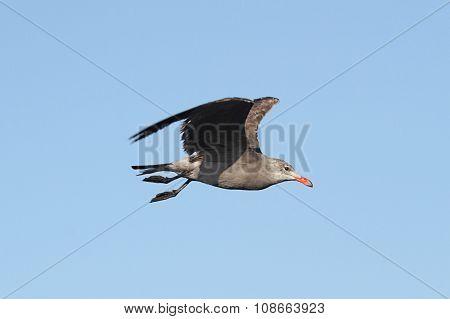 Heermanns Gull (larus Heermanni) By The Ocean