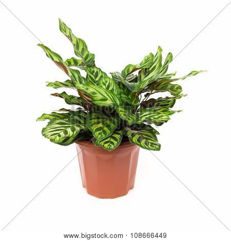 Potted Plant Of  Calathea Makoyana On A White Background