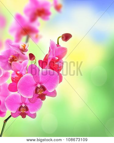 Beautiful Flower Orchid Pink Phalaenopsis Over Bright Nature Background