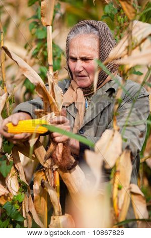 Portrait Of A Senior Woman Harvesting Corn