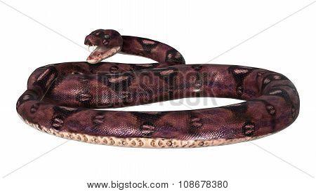 Dangerous Anaconda On White
