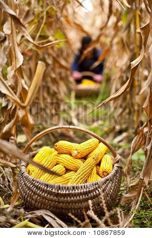 Basket With Corn In The Field