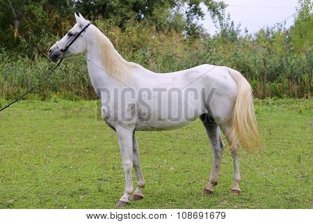 Side View Shot Of An Beautiful Young Arabian Mare