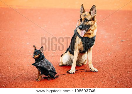 Brown German Sheepdog And Black Miniature Pinscher Pincher Sitti