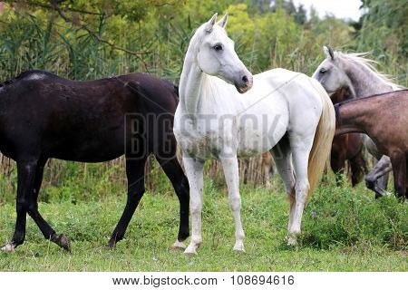 Young Arabian Mares And Foals Grazing On Pasture