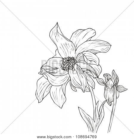 Hand drawn vector with dahlia. Floral natural design. Graphic, sketch drawing.