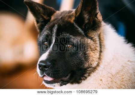 American Akita Dog Close Up Portrait