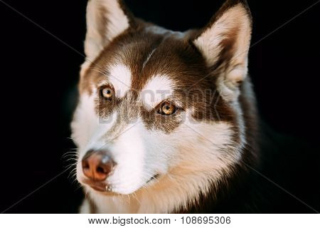 Close Up Funny Young White And Brown Husky Dog
