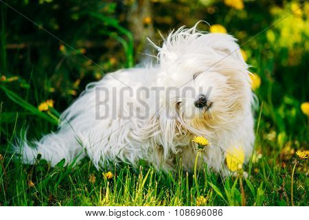 White Bichon Bolognese Dog Sitting In Green Grass