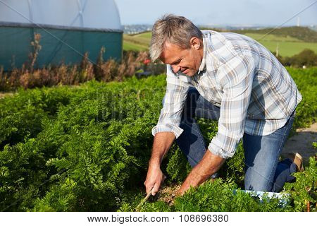 Farmer Harvesting Organic Carrot Crop On Farm